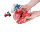 G01_01_140_140_Magnetic-Heart-model-life-size-5-parts