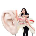 VJ510_01_140_140_Worlds-Largest-Ear-Model-15-times-full-size-3-part