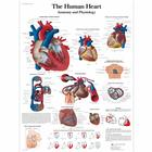 VR1334UU_01_140_140_The-Human-Heart-Chart-Anatomy-and-Physiology