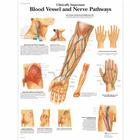 VR1359UU_01_140_140_Clinically-Important-Blood-Vessel-and-Nerve-Pathways-Chart