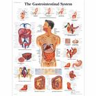 VR1422UU_01_140_140_The-Gastrointestinal-System-Chart