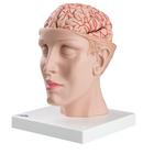 C25_01_140_140_Brain-with-Arteries-on-Base-of-Head-8-part